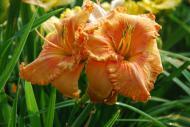 Forsyth Tangerine ruffes (LeFever 1997)