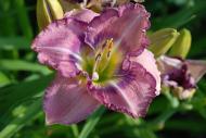 Palace Garden Beauty                               (Carpenter 2000)